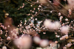 20160206-IMG_4819 (nut_cookie) Tags: flower flowers nature macrophotography plumblossoms