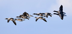 Brent Fly By. (pstone646) Tags: geese nature birds animals wildlife flight flying fauna kent elmley sky ngc