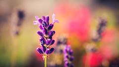 Waiting for Lavender Summer - Villa Borg, Saarland, Germany (Sebastian Bayer) Tags: bunt bokeh pflanze sonne hell saarland blume lebendig lavendel natur wiese drausen weich sonnenschein villaborg blüten unscharferhintergrund farben lila garten sommer blumen perl deutschland de