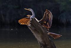 Hanging out to dry (christinaportphotography) Tags: australasiandarter anhinganovaehollandiae snakebird darter ourimbahcreek centralcoast nsw australia bird birds wild free shaking spray drying