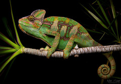 Veiled Chameleon (Nick Scobel) Tags: veiled chameleon chamaeleo calyptratus florida invasive exotic species color texture change pattern