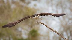 Lucky Hat (gseloff) Tags: osprey bird flight bif launch armandbayou pasadena texas kayakphotography gseloff