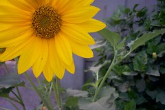 Sun Flower (piggsee) Tags: flower yellow green garden warm lahore pakistan model town soil design ark abdul rehman khawar