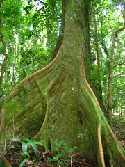 tree buttress roots (*omnia*) Tags: rainforest coramba tree moss mossy buttressroot australia