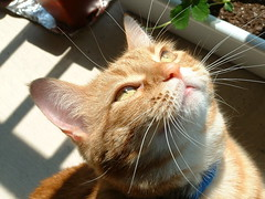 The Libby cross-examination (tygress_janie) Tags: cats sun sunlight cute topf25 sunshine animal animals topv111 1025fav cat top20animalpix furry topv555 topv333 kitten feline chat fuzzy topc50 kitty kittens gatos 100v10f gato kitties gata fv10 felines katze top20catpix gatto animale cutecat cutecats tier kaz katt ktzchen ket gatas cutekitten cutekittens mo mostviewedset mostinterestingset mostfavoritedset libbyset catswithclass cat1400 pet1000