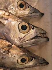 Tsukiji Fang-fish (mrjorgen) Tags: japan tsukijifishmarket may 2004 saturday20040522 japantripmay2004 deadfish teeth fish dangerous danger fangs tooth scary minicardkandidat moocardkandidat