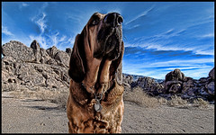 Beau listening to god (shadowplay) Tags: california dogs desert god ears bishop bloodhound attentive mojavedesert hearingvoices supershot supershots