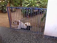 Zap e negrinho descansando (joaobambu) Tags: 1998 echapor echapora brasil brazil family farm