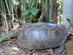 17 Fev 2004 BAMBU 009 (joaobambu) Tags: 2004 echaporã echapora february fevereiro chacara brazil brasil turtle