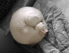 a snowy ball of cat (laihiu) Tags: sleeping white snow topf25 cat ball cutout circle topf50 topf75 interestingness1 shapes squaredcircle snowball curledup topf100 falbum cotcmostfavorited faveset orkutfav
