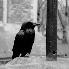 Raven in the Tower (Brenda Anderson) Tags: england blackandwhite bird london raven toweroflondon scannedprint curiouskiwi intop40set brendaanderson curiouskiwi:posted=2004