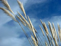 Air (Dave Ward Photography) Tags: blue sky usa 2004 nature grass clouds us washington interestingness bestof unitedstates wind unfound best mostfavorited bellingham wa whatcom davewardsmaragd ilikegrass cotcmostfavorited pss:opd=1104647569 pss:opd=1104520889