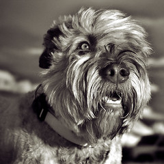 Rejected Dog Portraits #1 (Mr Lunatic Fringe) Tags: bw dog bouvier infrared 25
