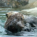 Caution: Sea Otters at Play!