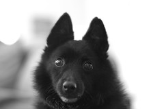 blue steel (lostinblue) Tags: pentax k5 ii s smc pentaxfa 50mm f14 dog schipperke bluesteel