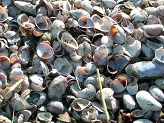 Atlantic slipper shells