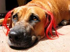 red haired dog (50mm) Tags: ego 50mm terrace style fakeredhair ©natashahemrajani
