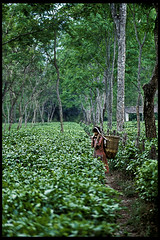 PickingupTea (BoazImages) Tags: travel india cute green girl topv111 work tea assam chai greenfields