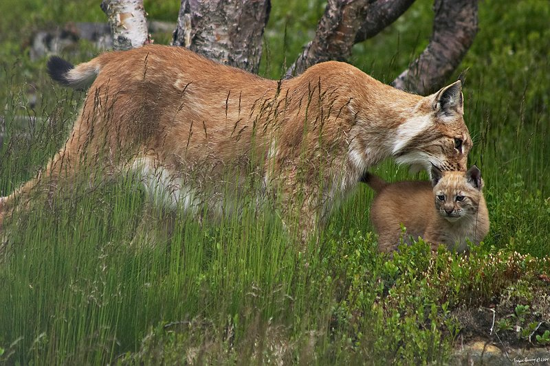 Lynx and cub.