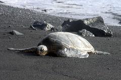 seaturt01 (rheros) Tags: hawaii nature wildlife seaturtle turtle sand beach ocean blacksand