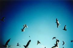 seagulls (lomokev) Tags: blue seagulls birds fly lomo xpro crossprocessed xprocess seagull 100v10f lomolca agfa jessops100asaslidefilm agfaprecisa agfaprecisa100 sandcroft cruzando precisa jessopsslidefilm rota:type=showall file:name=sandcroft322 use:on=moo