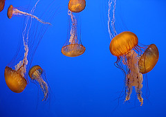 prima ballerinas in monterey, california (fotogail) Tags: california blue ballet orange usa fish wet water swim catchycolors photography aquarium monterey jellies jellyfish underwater jelly destination montereyaquarium fotogail your300pre2006favesthanks ilobsterit
