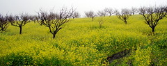 Mustard - by jurvetson