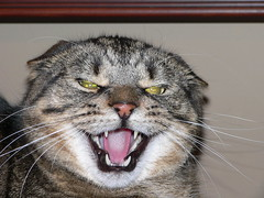 Angriest Cat on Flickr?