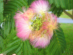 Mimosa (Martin LaBar) Tags: flowers flower beautiful leaves rosa bloom lovely fabaceae mimosa bello albizia albiziajulibrissin thecontinuum 2for2 2on2 a1f1 guisantefamilia
