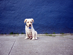 muddy @ about three months (jaymce) Tags: sanfrancisco blue portrait dog pet cute topf25 topv2222 puppy interestingness topf50 topv555 to