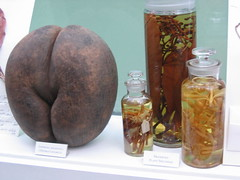 Double coconut &  other specimens (judith) Tags: conservatoryofflowers sanfrancisco callipygian plants jars coconut