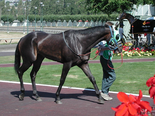 black thoroughbred racehorse. Racehorse warming up