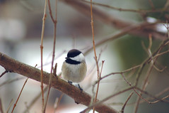 Chickadee #5 (martytdx) Tags: winter birds topv111 fauna backyard topv333 lifelist chickadee fav carolinachickadee poecilecarolinensis interestingnessity