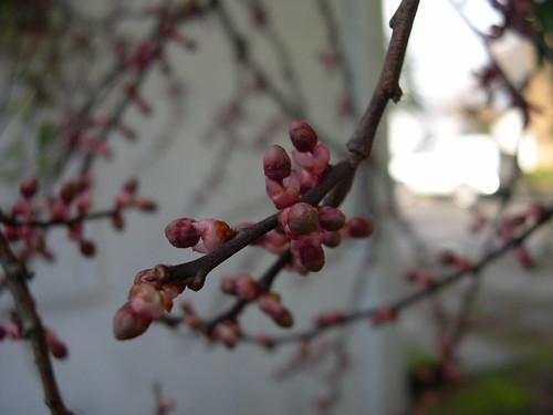 february cherry