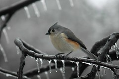 Titmouse (ricko) Tags: bird topf25 wow savedbythedeletemegroup bokeh quality topv1111 100v10f saveme10 titmouse tuftedtitmouse saveme11 tv555 specanimal twtmeblogged animalkingdomelite bokehsoniceaugust bokehsoniceaugust04 abigfave akiconoftheweek naturewatcher