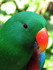 Eclectus parrot (Lil [Kristen Elsby]) Tags: bali green bird eye topf25 closeup indonesia asia southeastasia head beak feathers parrot getty topv11111 eclectus gettyimages balibirdpark gettyimagesonflickr