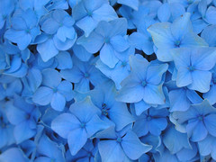 Hydrangea 'Nikko Blue' (Van in LA) Tags: desktop flowers blue wallpaper flower 2004 catchycolors july bleu hydrangea wallpapers sagharbor colorfield vanswearingen hydrangeaceae color:hsv_avg=97b2cf color:hsv_med=97b2d7 color:rgb_avg=3e80d0 color:rgb_med=4186d7 0x4081cf