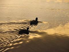 ducks (magic_eye) Tags: deleteme5 deleteme deleteme2 deleteme3 deleteme4 water topv111 golden topv333 ducks topv222 mallard magiceye nymphenburg rhpecanha