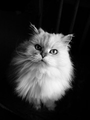 Pushka in Black and White (slight clutter) Tags: blackandwhite bw cats pets animals cat persian topf50 topv333 kitty iloveflickr persians pushka slightclutter excellenceindomesticanimalpetphotography fsftsblog katyahorner slightclutterphotography