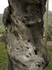 Floating faces (Eus) Tags: wood italy tree alberi italia campania faces olive floating bark albero arbre olivier volti olivo caserta ulivo photodomino234