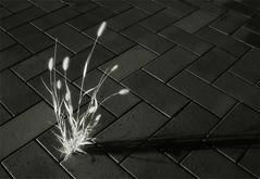 A foxtail (mio_slowphoto) Tags: blackandwhite bw nature grass ir urbannature infrared foxtail ilikegrass urbannatureblog