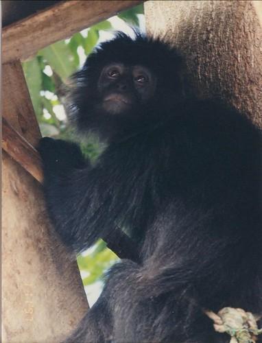 Baby Monkey- Indonesia