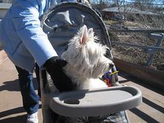 fotolog sillyfurrysaturday dog stroller