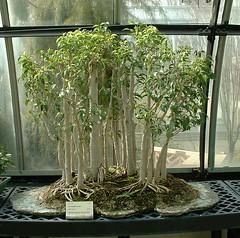 Bonsai Ficus benjamina 'Natasha' (Henryr10) Tags: cincinnati ficus bonsai natasha krohn krohnconservatory benjamina ficusbenjaminanatasha