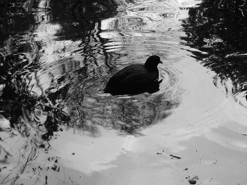 coot bw