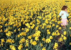 daffodils and Sara (doc(q)man) Tags: holland netherlands egmond bulbs nature landscape flower daffodil field girl docman