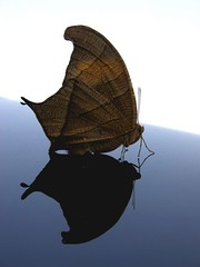 Reflexo (Luiz C. Salama) Tags: interestingness c explorer explore 500 destaque itsongselection1 mariposa luiz interessantes salama itsongmacrocosmos itsongnikone5700 ocioso flickrtop500 drocio duetos luizsalama salamaluiz