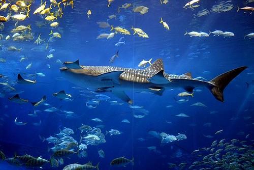 Tiburón Ballena en Okinawa Churaumi Acuario