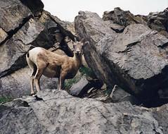 wildlife1 (ayoye) Tags: canada animal rockies wildlife alberta canadianrockies