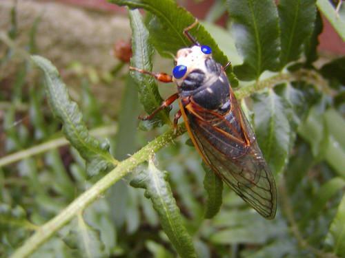 Blue eyed Cicada